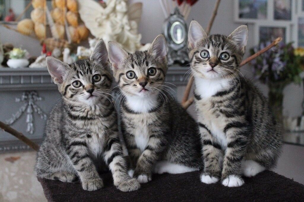 Mixed Breed Bengal Kittens For Sale | in Greenford, London