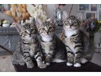 Mixed Breed Bengal Kittens For Sale