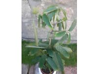 Mature House Plant Ctenanthe in Ceramic Planter