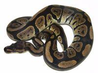 Granite ball python and vivarium for sale