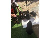 Bichon frise x Yorkshire terrier puppies for sale