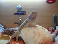 Bearded Dragon Male 4 years & all neccessary equipment included