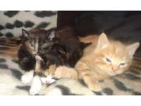 Kittens for sale We only have 2 little black females left . .