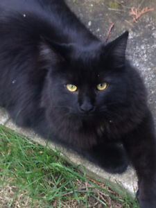 Missing Black Long Haired Male Cat
