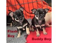CHIHUAHUA Boys KC REG. Insured, 1st Vac & Microchipped. Best Lines READY NOW