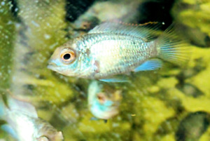 Electric Blue Acara babies!!!