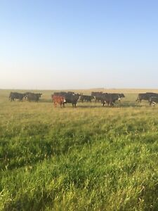 Cows/replacement heifers