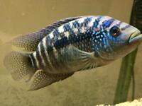 Jack Dempsey Cichlid Tropical Fish Aquarium