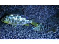 Nimbochromis venustus 2.5 inch malawi hap £6 each