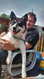 Paws for Love dog rescue has a 1 1/2 year husky mix for adoption