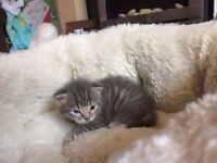 grey Bengal , girl kitten