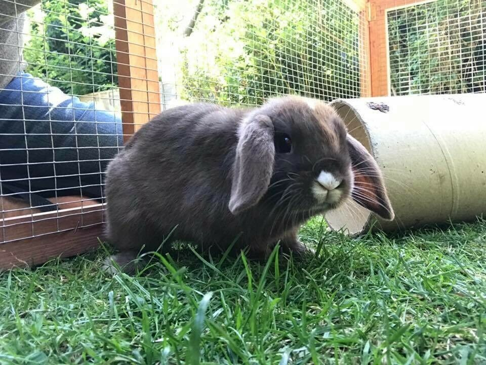 Gorgeous mini lop
