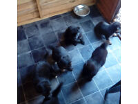 Puppies for sale german sheppherd cross border collie , puppies are now just over 5 weeks