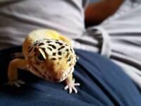 Leopard gecko and vivarium (Giovanni Esteban Van Hoolio)
