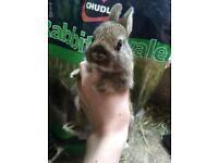 Netherland Dwarf Bunny Ready