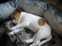 girl jack Russell puppy READY TO GO!