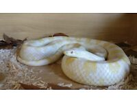 2 Corn Snakes & Set up - Tanks, Caves, heat mat & water dishes
