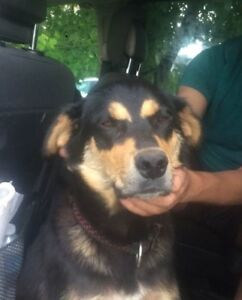 Paws for Love dog rescue has a 2 year rotti mix for adoption
