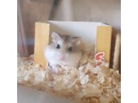 roborovski hamster with cage and extras