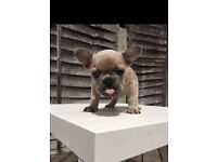 Kc Reg French Bulldog Puppies Blue Sable/fawn Litter! At Carriers