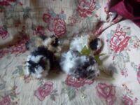 2 Baby Lunkarya Boar guinea Pigs