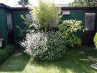 mature shrubs for sale