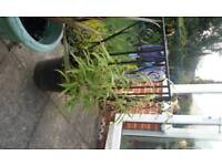 yellow bamboo.clump forming.evergreen.3'