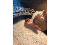 Pair of Okeetee Corn Snakes