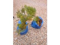 """Conifer plants, slow growing approx 15"""" tall"""