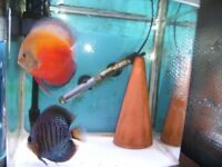BEAUTIFUL DISCUS FOR SALE