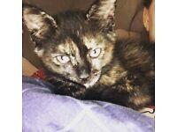12 week old tortishell kitten