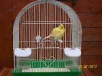 yellow fife canary and cage
