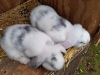 2, 8 week old, very friendly dwarf lop bunnies for sale