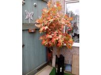 Acer forsale in mother of pearl planter