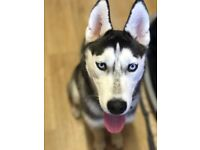 7 month old female husky
