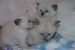 Siamese Blue Point for sale