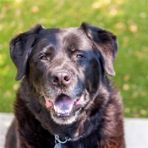 "Senior Male Dog - Chow Chow-Rottweiler: ""Takoda"""