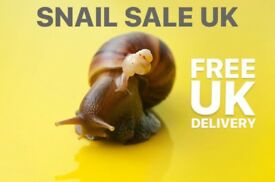 Giant African Land Snails For Sale