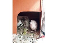 2 x Guinea Pigs