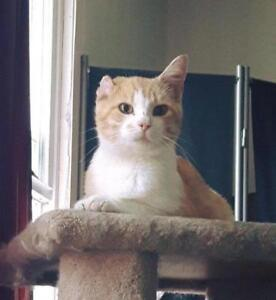 "Young Male Cat - Domestic Short Hair (Orange & White): ""Lopsy"""