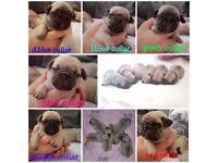 Adorable 3/4 pug puppies