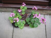 GERANIUMS IN FLOWER POTTED