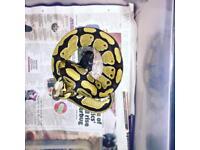 Royal python morph