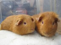 bonded boars for sale