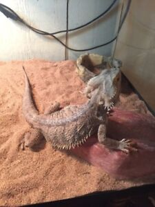 Bearded dragon with supply's and Tank