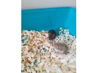 2 beautiful dwarf hamsters for sale with cage