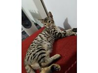 Pure bengal female kitten for sale