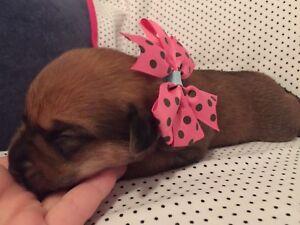 Boxer/Lab/Mastiff PUPPIES
