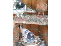 Coloured doves