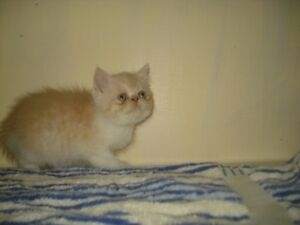 exotic short hair persian male kitten